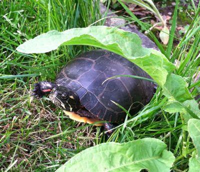 turtle-skipp